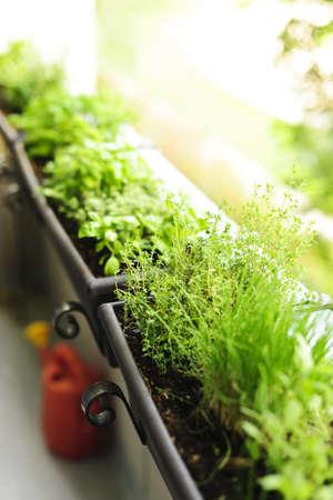 Verse kruiden groeien in bloembakken op heldere balkon Stockfoto