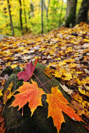 Closeup of colorful fall maple leaves on forest floor photo