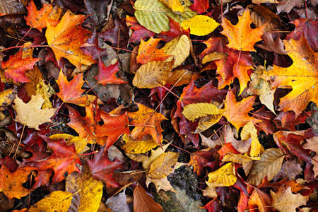 fallen leaves: Background of colorful autumn leaves on forest floor