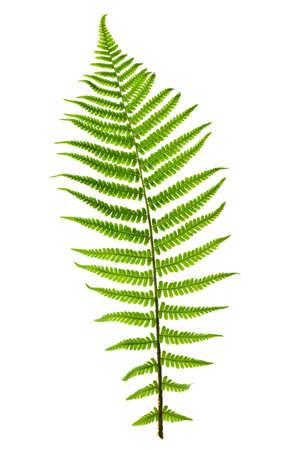 helechos: Hoja de helecho verde sobre fondo blanco