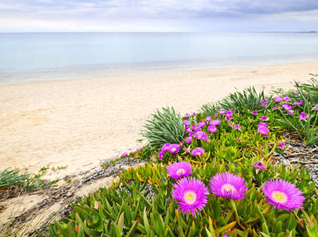 Sea fig or ice plant flowers blooming on Aegean coast in Chalkidiki, Greece Stock Photo