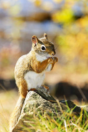 Cute red squirrel eating nut sitting on rock Stock Photo - 11372119