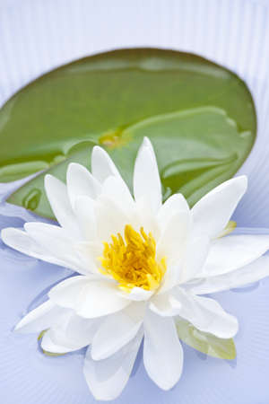 lilypad: White lotus flower or water lily floating