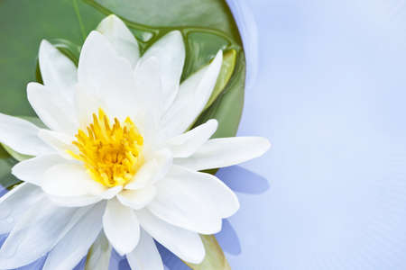White lotus flower or water lily floating photo