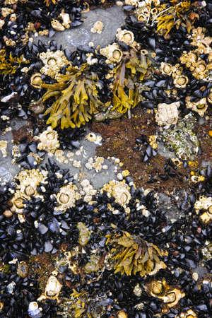 barnacles: Cozze e cirripedi durante la bassa marea sul fondo del mare nella costa pacifica del Canada Archivio Fotografico