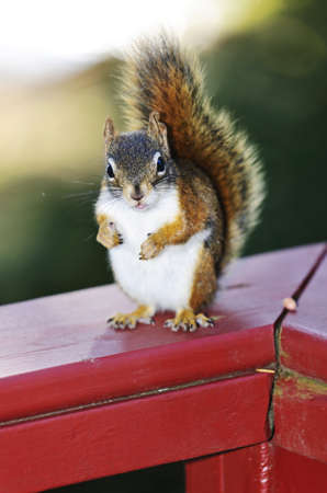 Fat wild red squirrel standing on wooden railing outdoors Stock Photo - 11930048