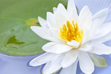 lirio acuatico: Blanca flor de loto, o lirio de agua flotante