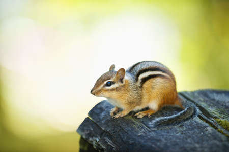 Cute wild chipmunk crouching on wooden log Stock Photo - 12389853