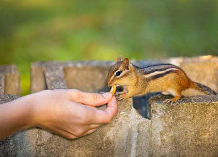 Female hand feeding peanut to wild chipmunk Stock Photo - 12389875