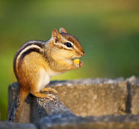 Cute wild chipmunk holding peanut with paws and eating Stock Photo - 12389865
