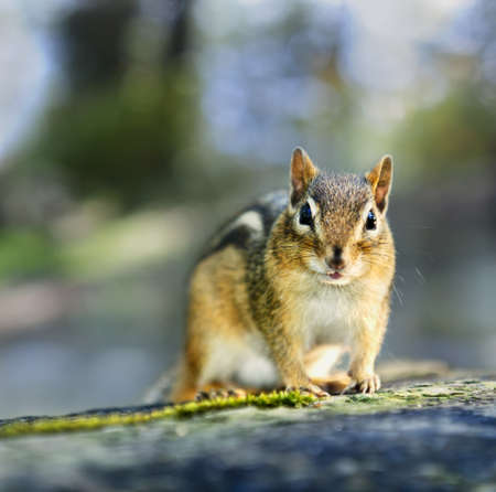 Cute wild chipmunk posing in natural habitat Stock Photo - 12389843