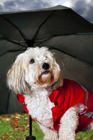 red umbrella: Coton de tulear dog in raincoat under umbrella looking worried