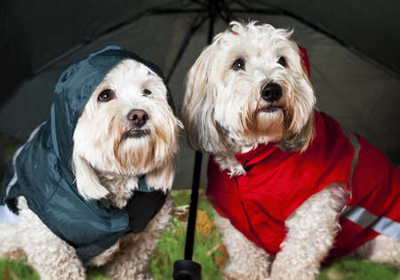 grappige honden: Twee Coton de Tulear honden in regenjassen onder paraplu Stockfoto