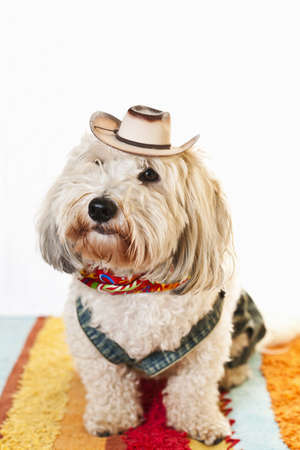 dressed up: Adorable coton de tulear dog in cowboy hat and kerchief