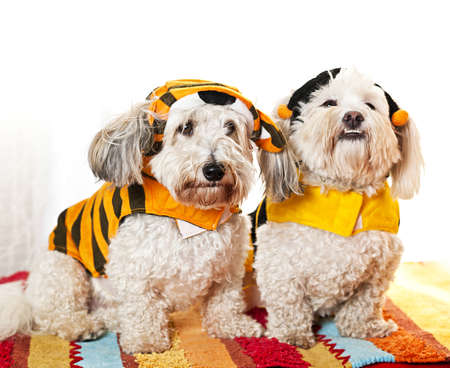 Two coton de tulear dogs in costumes Imagens