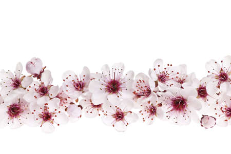 cherry blossom: Border of beautiful cherry blossom flowers on white background