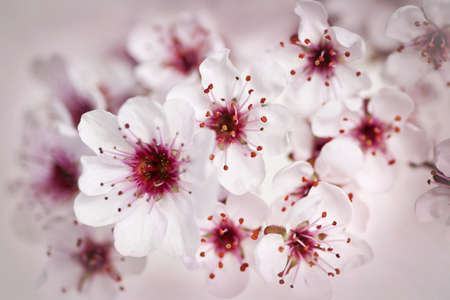 flowering in plants: Cluster of beautiful pink cherry blossom flowers Stock Photo