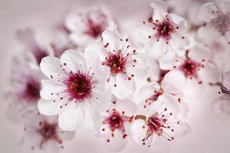 Cluster of beautiful pink cherry blossom flowers 版權商用圖片