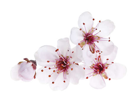 flowering: Cherry blossom flowers close up isolated on white background