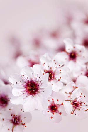 Cluster of delicate pink cherry blossom flowers photo