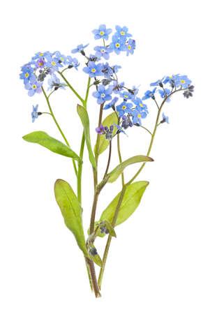 fleurs des champs: Disposition des forget-me-not fleurs avec des feuilles isolées sur fond blanc