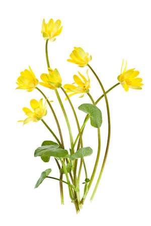 Gele speenkruid bloemen in het voorjaar geïsoleerd op witte achtergrond