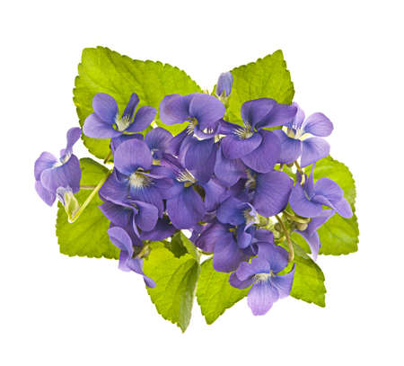 Arrangement of purple wild violets with leaves isolated on white photo