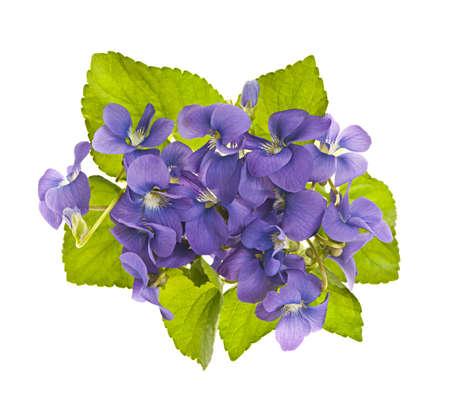 violeta: Disposición de las moradas violetas silvestres con hojas aisladas en blanco Foto de archivo