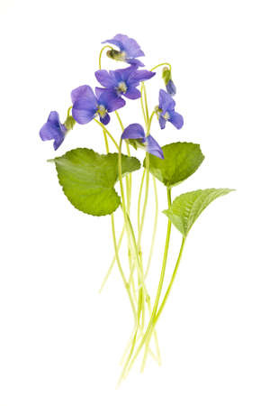 Arrangement of spring purple violets with leaves isolated on white background