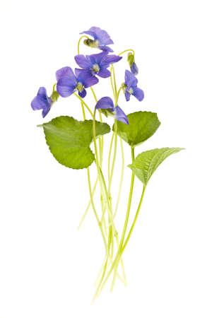 Disposición De Los Violetas De Primavera De Color Púrpura Con Hojas ...
