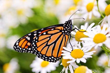 Mariposa monarca colorida sentada en flores de manzanilla