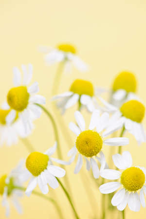 chamomile flower: Closeup of chamomile flowers on yellow background