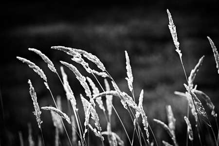 tall grass: Tall wild grass stalks growing in black and white