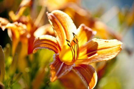 Beautiful orange tiger lily flowers blossoming in garden Stock Photo - 15059557