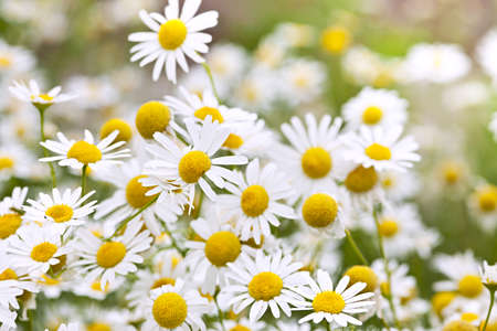 chamomile flower: Flowering chamomile growing in summer meadow close up Stock Photo