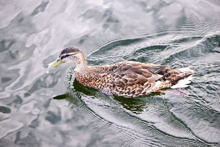 Female mallard duck swimming on calm pond with cloud reflections Stock Photo - 15374776