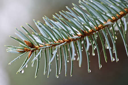 Closeup of blue spruce tree branch with needles and dew drops Stock Photo - 16419103