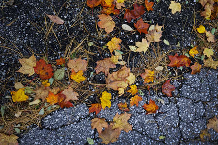 Colorful autumn maple leaves and pine needles on old pavement Stock Photo - 16419320
