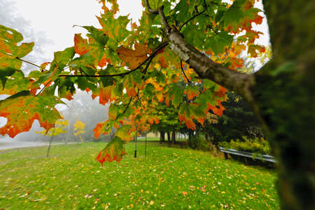Maple tree branch with changing leaves on foggy autumn day Stock Photo - 16419288