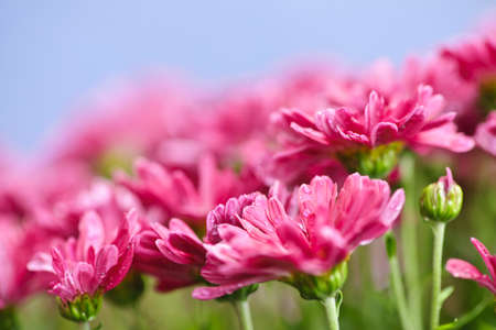 Closeup of pink mum flowers with raindrops Stock Photo - 16419099