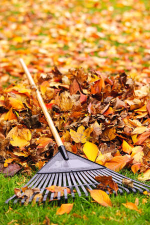 Pile of fall leaves with fan rake on lawn Stock Photo - 16419295