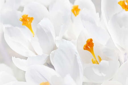 Closeup of beautiful white crocus flowers blossoming photo