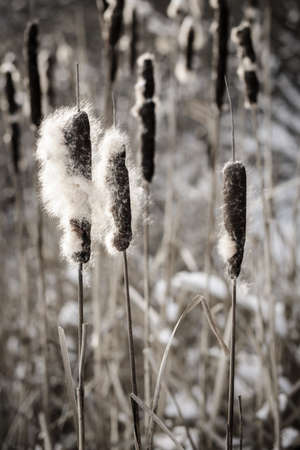 cattails: Brown cattails with fluffy seeds in winter Stock Photo