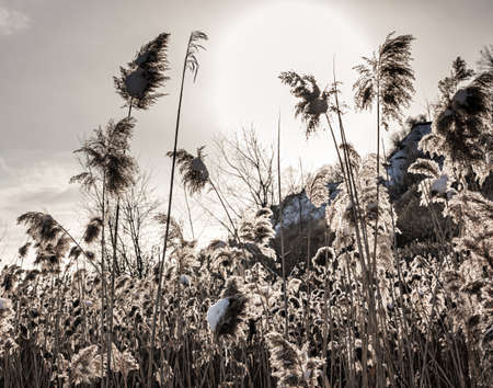 Winter scene with backlit dry reeds covered in snow Stock Photo - 17664299