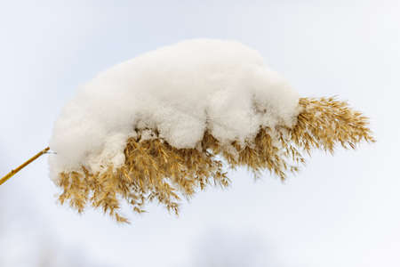 Dry reed covered with snow in winter closeup Stock Photo - 17664238