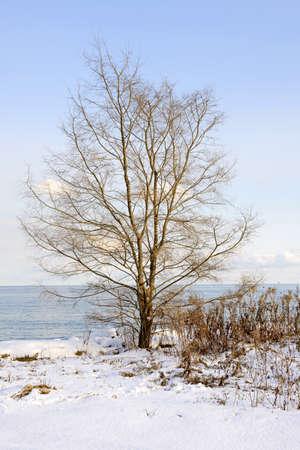 understated: Single tree on snowy winter shore of lake Ontario in Sylvan park Toronto