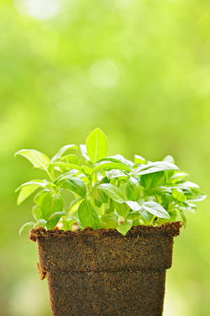Young sweet basil plants in peat pot Stock Photo - 18066167