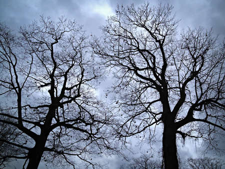 Two oak trees in winter silhouetted on overcast sky photo