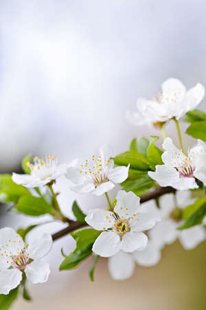 CLoseup of white spring cherry blossom flowers on branch Stock Photo - 18341593