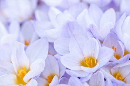 Closeup of many beautiful light purple crocus flowers blossoming Stock Photo - 18341588